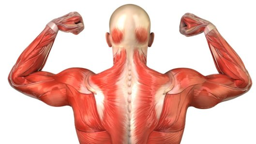 parts-of-muscular-system1